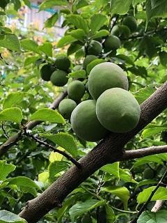 梅の木240-320.jpg