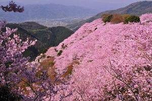 徳島県八百万神之御殿の桜300-199.jpg
