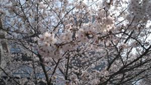 5・公開 隅田川の桜と向島 差し替え.jpg