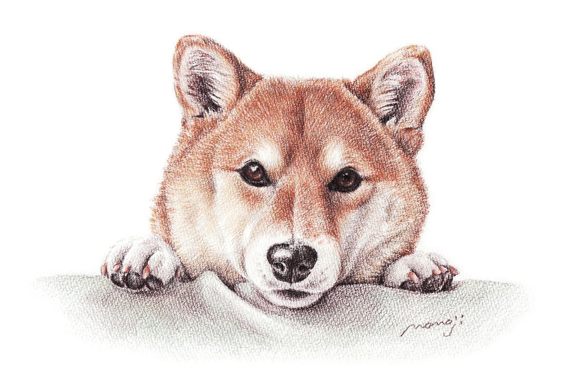 犬の肖像画 柴犬2.jpg